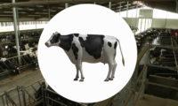 工业智能化奶牛养殖场三维动画视频